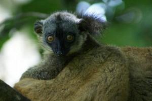Makis de l'îlot de M'bouzi à Mayotte