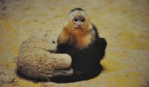 Singe capucin au zoo de la Palmyre