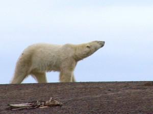 Un ours polaire en liberté.