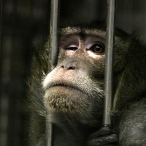 L'un des primates détenus au centre de primatologie de Niederhausbergen.