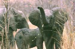 Eléphants en Tanzanie / Ph. De Almeida