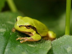 Hyla Arborea (by Kristian Peters)
