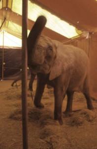 Un éléphant au cirque Amar