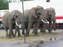 3 éléphants du cirque A.Fratellini présentant d'importants troubles du comportement.