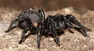 Mygale d'australie