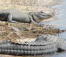 Alligator - Ferme aux crocodiles
