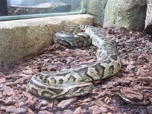 python molure (par Ba Gamman)