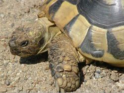 Volde tortues hermann dans le var