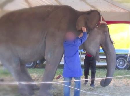 L'éléphante Maya