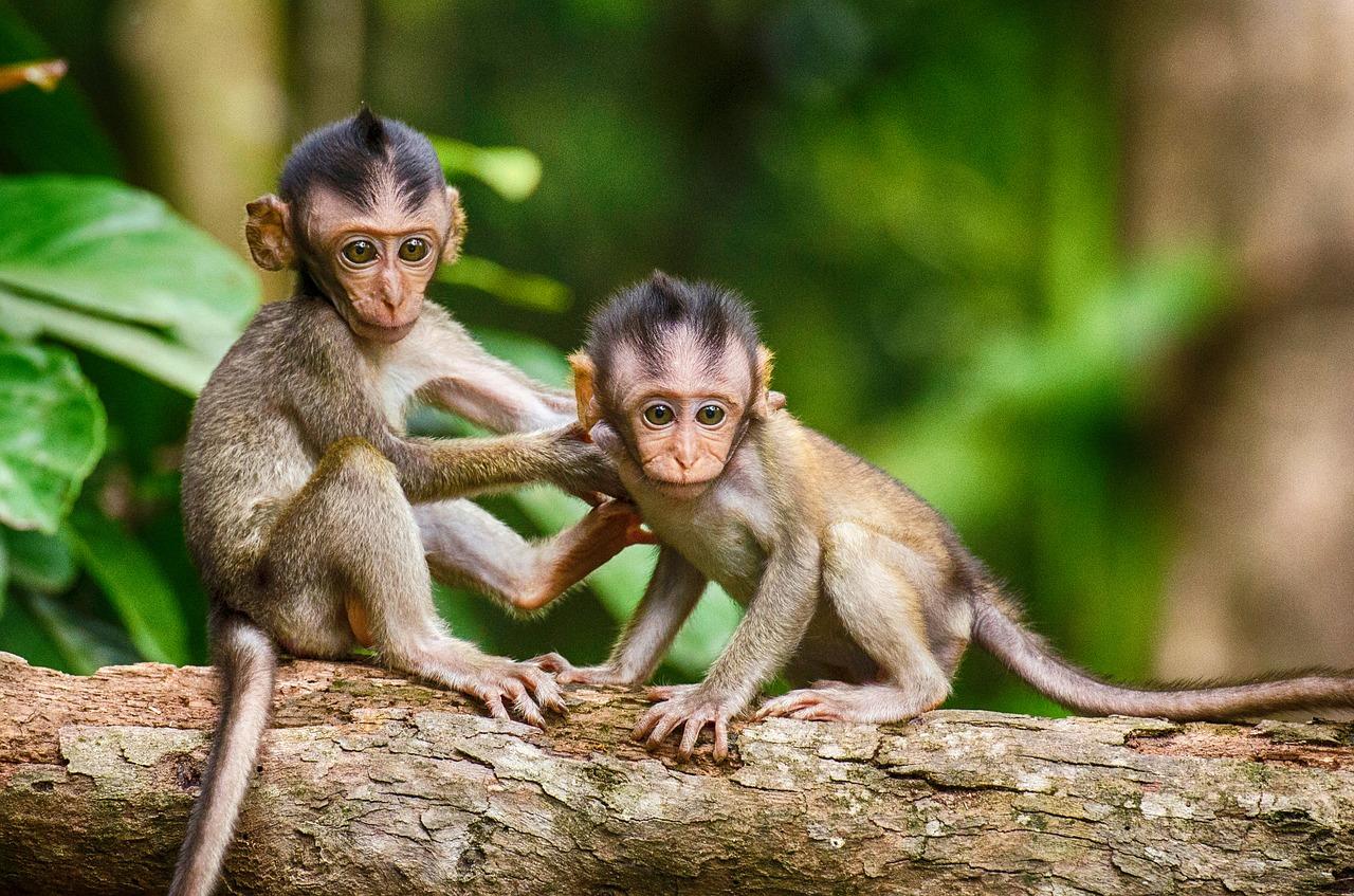 Des singes comme animaux de compagnie bientôt interdit en Angleterre ?